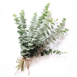 Eukaliptus popielaty - Silver Dollar