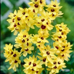 Ixia - Iksja Yellow Emperor - 25 szt.