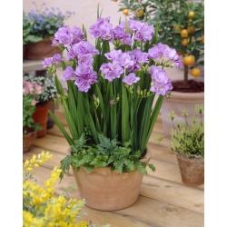 Frezja pełna o kwiatach fioletowych - 10 cebulek