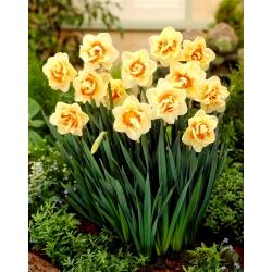 Narcyz pełny Flower Parade - 5 cebulek