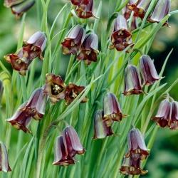 Szachownica Elwesa - Fritillaria elwesii - 5 cebulek