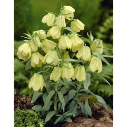 Szachownica bladokwiatowa - Fritillaria pallidiflora