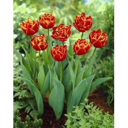 Tulipan Allegretto - 5 cebulek