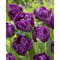 Tulipan Negrita Double - opak. 5 szt.