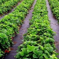 Agrowłóknina czarna antychwastowa - 1,60 x 5,00 m - Megran