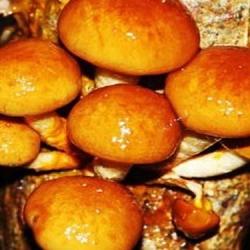 Łuskwiak nameko - grzybnia na kołkach - Planto