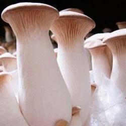 Boczniak mikołajkowy P. eryngii - grzybnia na kołkach - Planto