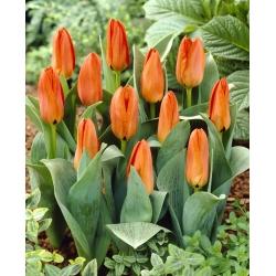 Tulipan niski pomarańczowy - Greigii orange - 5 cebulek