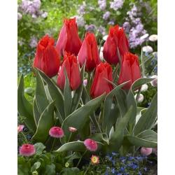 Tulipan niski czerwony - Greigii red - 5 cebulek