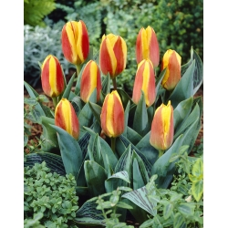 Tulipan niski czerwono-żółty - Greigii red-yellow - 5 cebulek