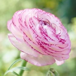Jaskier Aviv Picotee Pink - 10 cebulek