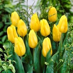 Tulipan żółty - Yellow - 5 cebulek