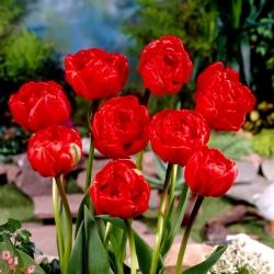 Tulipan pełny Miranda - opak. 5 cebulek