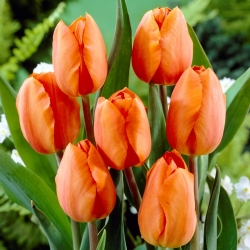 Tulipan pomarańczowy Orange - 5 cebulek
