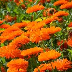 Domowy ogródek - Nagietek lekarski Bon Bon - do uprawy w domu i na balkonie - 240 nasion