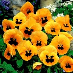 Bratek wielkokwiatowy - pomarańczowy z czarną plamą Orange mit Auge - 240 nasion