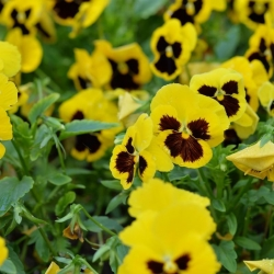 Bratek wielkokwiatowy – żółty z czarną plamą - 400 nasion