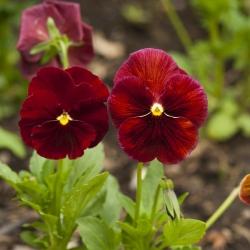 Bratek wielkokwiatowy - czerwony - 240 nasion