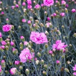 Goździk pierzasty - mieszanka - 140 nasion