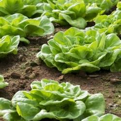 Sałata masłowa Meraviglia d'inverno - zimująca - 900 nasion