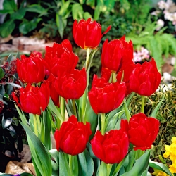 Tulipan Abba - opak. 5 szt.