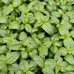 BIO Bazylia Italiano Classico - Certyfikowane nasiona ekologiczne - 325 nasion