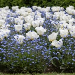 Tulipan biały i niezapominajka alpejska niebieska - zestaw cebulek i nasion