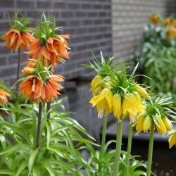 Dwukolorowy zestaw korony cesarskiej - pomarańczowa i żółta - 6 szt.