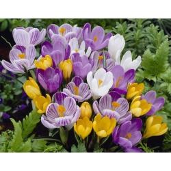 Zestaw 4 odmian krokusów w kolorze białym, żółtym, fioletowym oraz fioletowo-białym - 200 szt.
