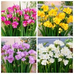 Frezja pełna - zestaw 4 odmian w kolorze białym, żółtym,fioletowym i różowym - 80 szt.