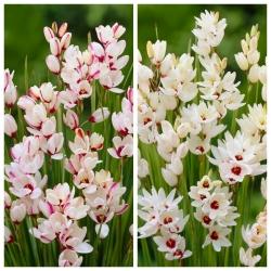 Ixia - Iksja - zestaw 2 odmian w kolorze białym oraz biało-różowym - 100 szt.