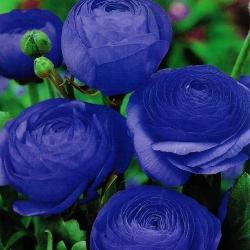 Jaskier azjatycki niebieski - 10 cebulek