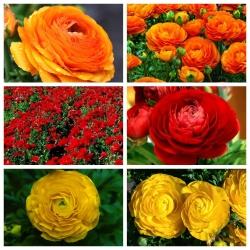 Jaskier czerwony, żółty i pomarańczowy - 90 szt.