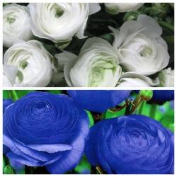 Jaskier biały i niebieski - 100 szt.