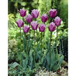 Tulipan Blue Heron - 5 cebulek