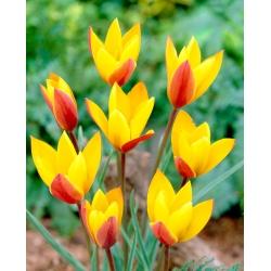 Tulipan Chrysantha - opak. 5 szt.
