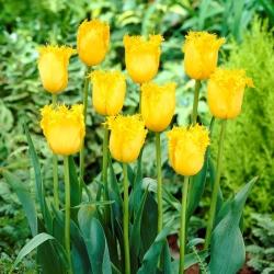 Tulipan Hamilton - 5 cebulek