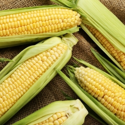Kukurydza cukrowa Złota Karłowa - 120 nasion