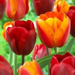 Zestaw tulipanów - czerwony i morelowy z żółtą obwódką - 50 szt.