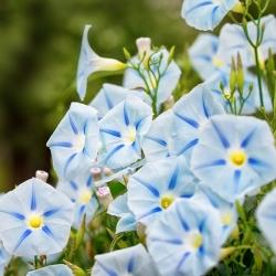 Wilec trójbarwny Blue Star – niezwykle okazałe kwiaty! - 56 nasion