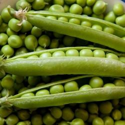 BIO Groch siewny łuskowy Progress 9 - Certyfikowane nasiona ekologiczne