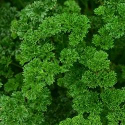 Pietruszka naciowa Rizado Verde Oscuro - kędzierzawa