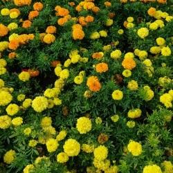 Aksamitka wzniesiona cytrynowożółta + pomarańczowa - zestaw 2 odmian nasion