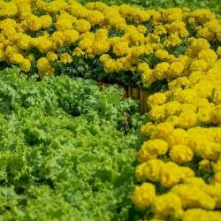 Aksamitka + sałata dębolistna - zestaw 2 gatunków nasion
