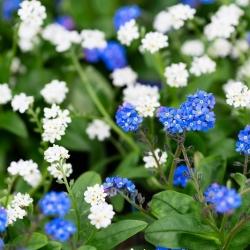 Niezapominajka alpejska niebieska i biała - zestaw 2 odmian nasion