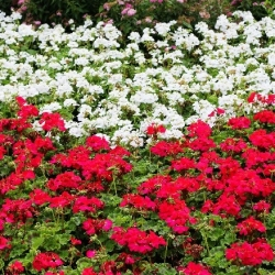 Pelargonia biała i czerwona - zestaw 2 odmian nasion kwiatów