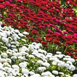 Stokrotka pomponette biała + czerwona- zestaw 2 odmian nasion kwiatów