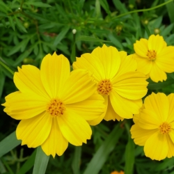 Onętek, Kosmos - żółty
