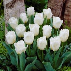 Tulipan niski biały - Greigii white