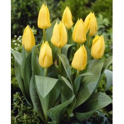 Tulipan niski żółty - Greigii yellow